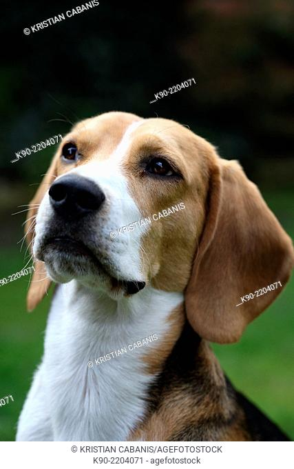 Head shot of tricolor Beagle looking up, Berlin, Germany, Europe