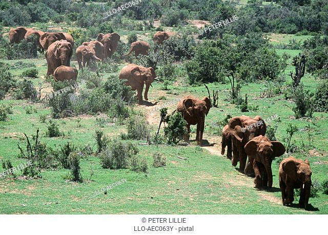 Aerial View of an African Elephant Loxodonta africana Herd Walking Through the Lush Green Bushveld  Addo Elephant National Park, Eastern Cape Province