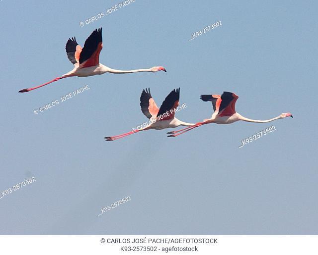 Greater Flamingo (Phoenicopterus roseus). S'Albufera de Mallorca, Balearic Islands, Spain
