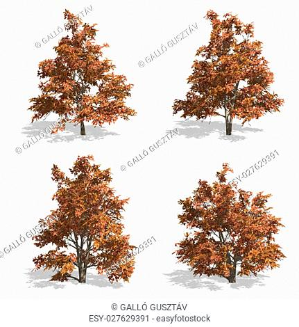 stewartia fall trees, isolated on white background