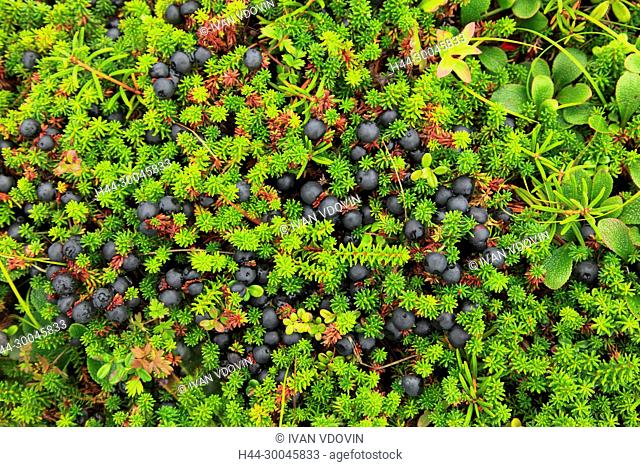 Crowberry (Empetrum), Opala river, Kamchatka Peninsula, Russia