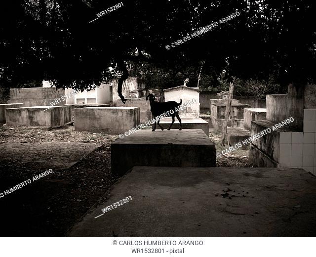 Goat in the Cementery, Mahates, San Basilio de Palenque, Mahates, Bolivar, Colombia