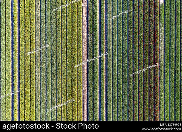 Tulip fields, aerial view, Schwaneberg, Saxony-Anhalt, Germany