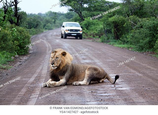 Male Lion Panthera Leo  Vulnerable species  Lion lying on a tourist road in Imfolozi   Hluhluwe Imfolozi Game Reserve  Kwazulu-Natal