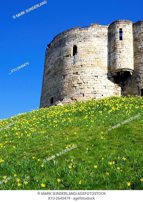Daffodils below Cliffords Tower the ruined keep of the medieval York Castle Yorkshire England