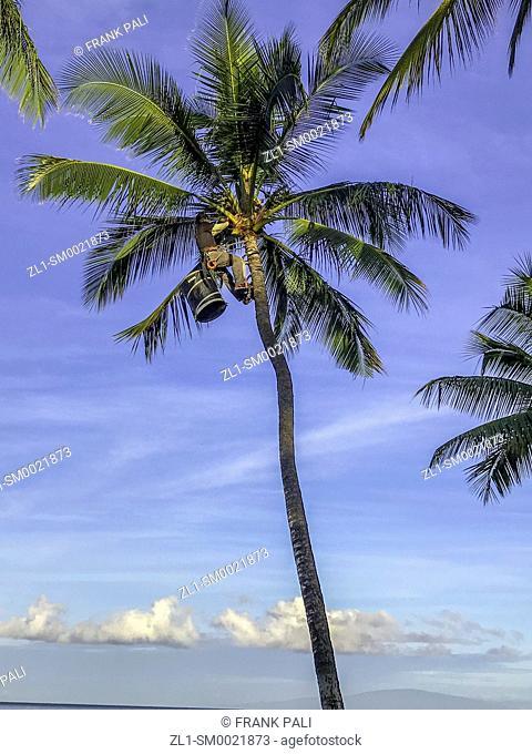 Pruning the Palm trees along the Wailea Coastal Walk along Maui's famed, sun-kissed south shore resort area. Hawaii