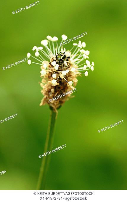 Plantego lanceolata, Ribwort Plantain flower, Wales