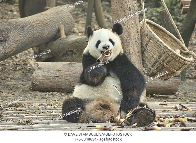 Giant panda eating bamboo at the Chengdu Research Base of Giant Panda Breeding in Chengdu, Sichuan, China