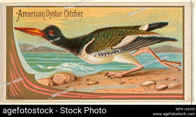 American Oyster Catcher, from the Game Birds series (N13) for Allen & Ginter Cigarettes Brands. Publisher: Issued by Allen & Ginter (American, Richmond