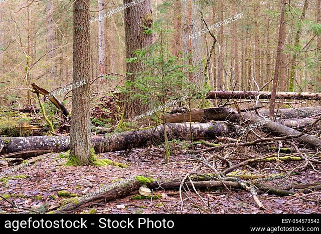 Broken poplar tree in springtime against oak trees, Bialowieza Forest, Poland, Europe