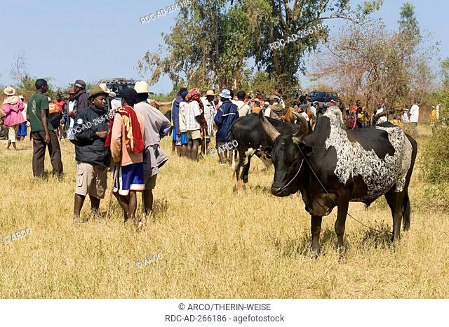 Zebu market, Morondava, Madagascar / Zebu Cattle