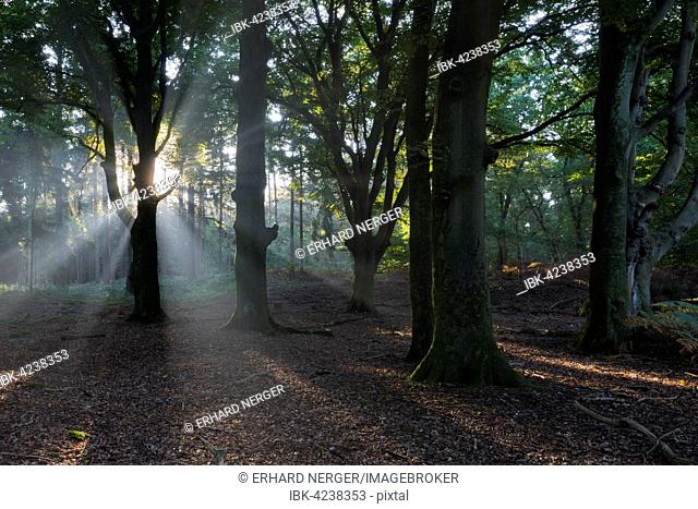 Rays of sunlight in forest, Emsland, Lower Saxony, Germany