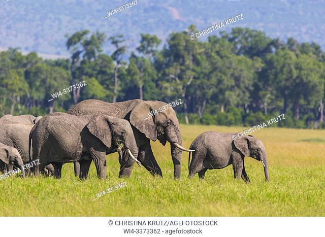 African elephants (Loxodonta africana), herd, adult with young walking in grass, Masai Mara National Reserve, Kenya