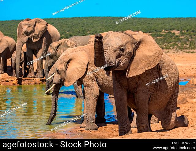 Elephant?s herd at water hole, South Africa