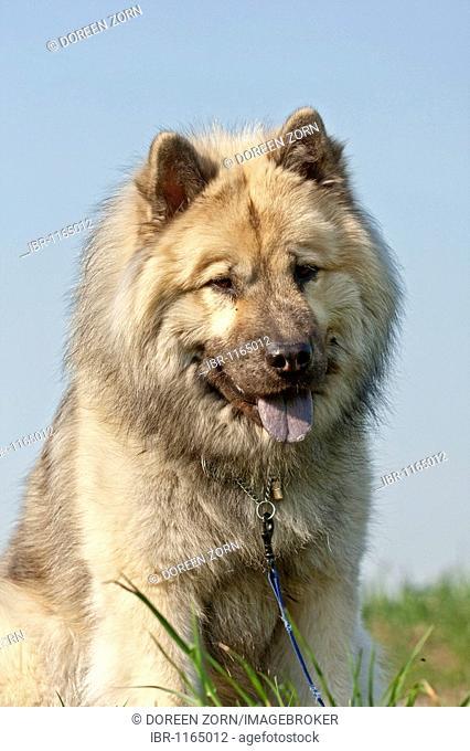 Eurasier dog, portrait