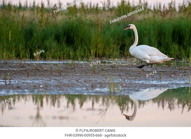 Mute Swan (Cygnus olor) adult, walking on flooded grazing marsh at dawn, Elmley Marshes N.N.R., North Kent Marshes, Isle of Sheppey, Kent, England, July