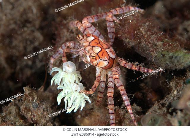 Pom-pom Crab (Lybia tesselata) with anemones on legs for protection on hard coral at Seraya in Bali in Indonesia