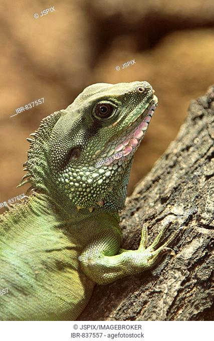 Chinese Water Dragon (Physignathus cocincinus), adult, portrait, native to South East Asia