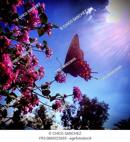 The sun shines over a butterfly licking in a pink flower in Castillo de Chapultepec, Mexico City, Mexico