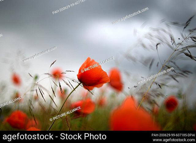29 June 2020, Saxony-Anhalt, Zeppernick: Dark clouds pass over red poppies at the edge of a field. In Jerichower Land it has become summer