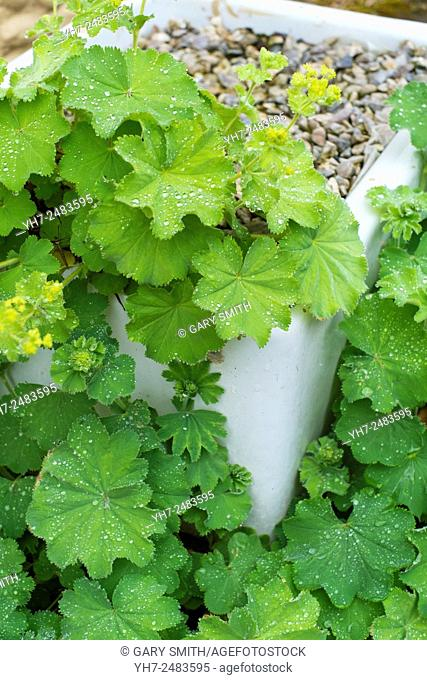lady's mantle - Alchemilla mollis, growing in an old enamelled sink