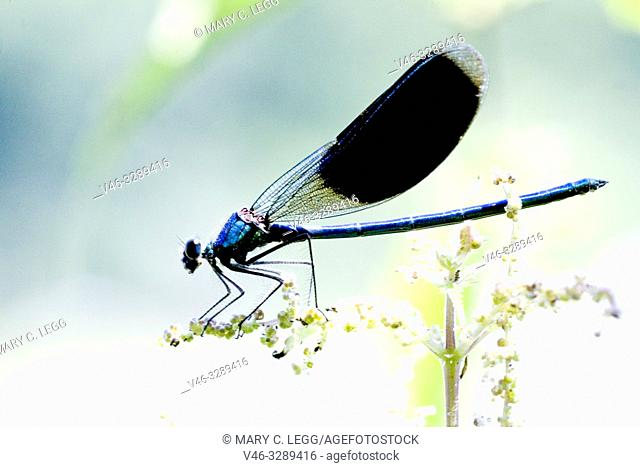 Male Banded Demoiselle, Calopteryx splendens. Showy metallic blue damselfly that inhabits slow moving rivers, streams. Females are metallic green