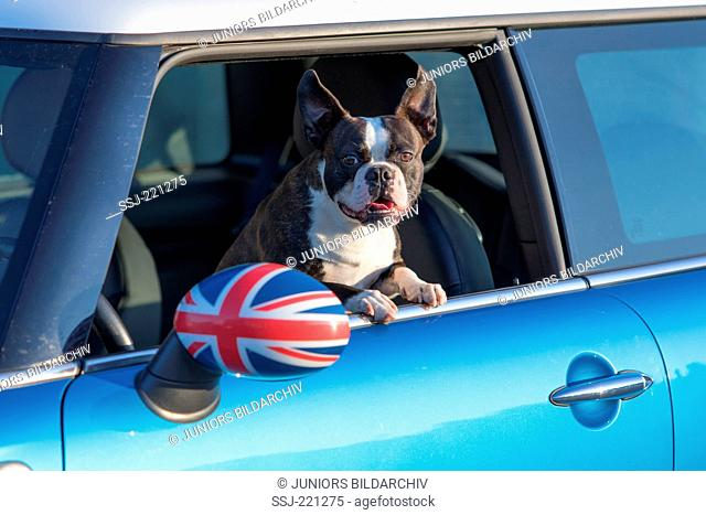 Boston Terrier. Adult dog looking out from the window of a Mini Hatch. germany