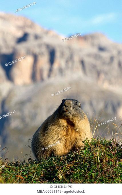 Italy,Dolomites,Fassa Valley,Marmotta,Alpine marmot,Sas Pordoi. Marmot in the sun