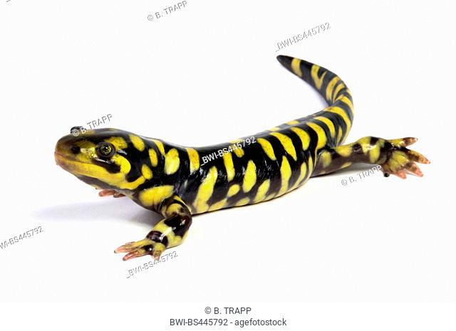 Barred Tiger Salamander (Ambystoma mavortium), cutout