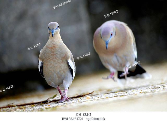 White-winged dove (Zenaida asiatica), two White-winged doves on the ground, Costa Rica