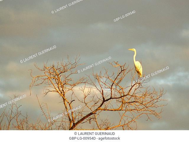 Heron-white, Great Egret, Ardea Alba, Pantanal, Mato Grosso do Sul, Brazil
