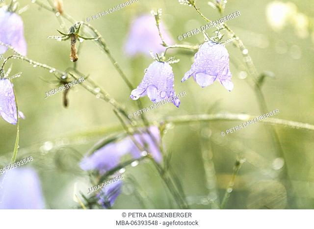 Bluebells, bellflowers with drops of water in the morning