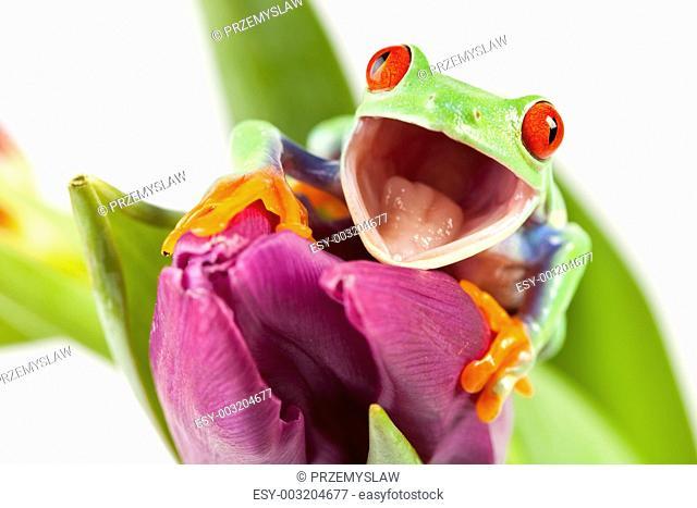 Green frog on tulip