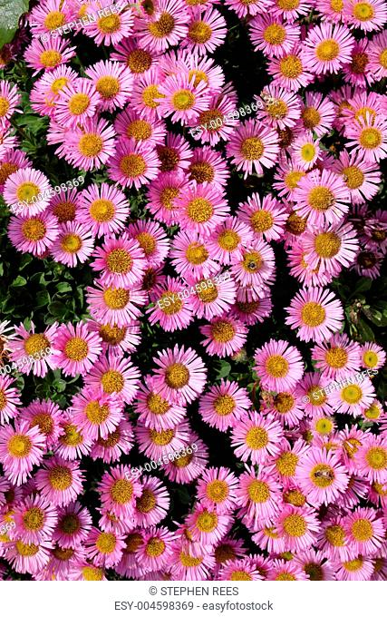 Colorful pink Aster Alpinus flowers