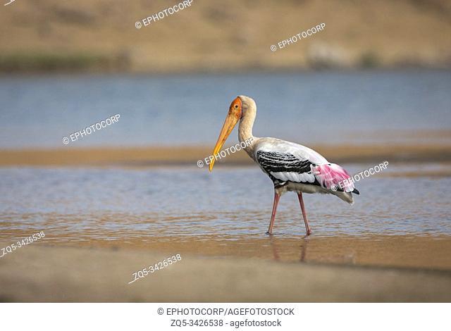 Painted Stork, Mycteria leucocephala, Chambal River, Rajasthan, India