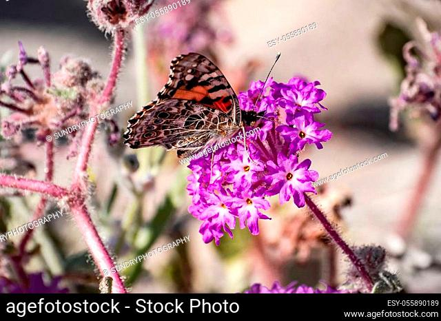 Painted lady (Vanessa cardui) butterfly on a sand verbena (Abronia Villosa) wildflower, Anza Borrego Desert State Park, south California