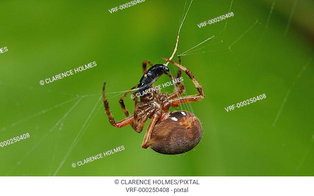 An female Orbweaver (Neoscona crucifera) spider wraps its caught prey, a Picnic Beetle (Glischrochilus quadrisignatus), in silk at the center of its web