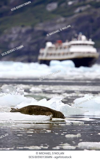 Harbor seal Phoca vitulina hauled out on ice at Johns Hopkins Glacier in Glacier Bay National Park, Southeast Alaska, USA