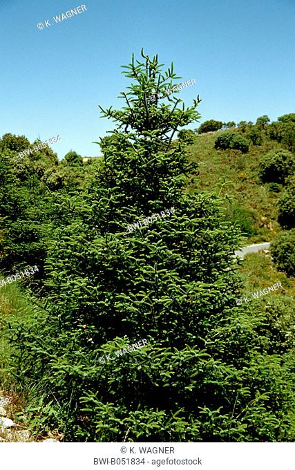 Spanish Fir Abies Pinsapo Stock Photos And Images Age Fotostock