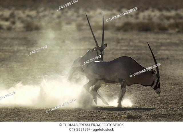 Gemsbok (Oryx gazella). Males. Have been fighting. Kalahari Desert, Kgalagadi Transfrontier Park, South Africa