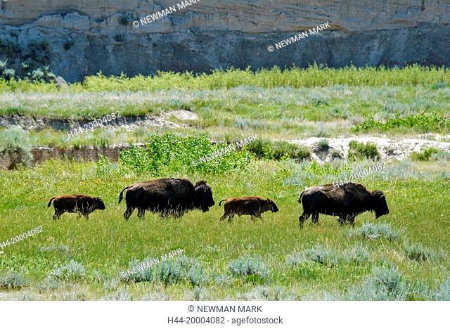 American Bison, buffalo, Badlands National park, South Dakota