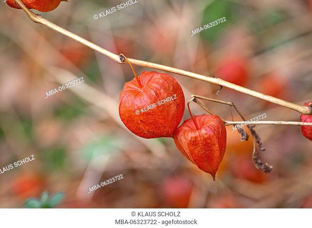 bladder cherry (Physalis alkekengi)