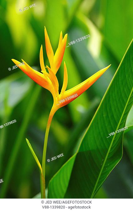 Nicky Spike (Heliconia x nickeriensis) is a heliconia native to Central and South America as well as the Caribbean and islands of the South Pacific