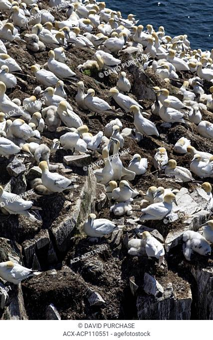 Northern gannet (Morus bassanus), resting on Bird rock, Cape St. Mary's Ecological Reserve, located near Cape St. Mary's on the Cape Shore