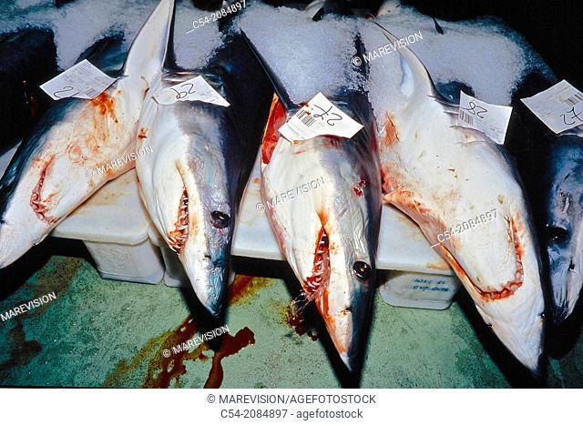 Mako shark (Isurus oxyrinchus) at the fishing port of Vigo, fish market, Eastern Atlantic, Galicia, Spain