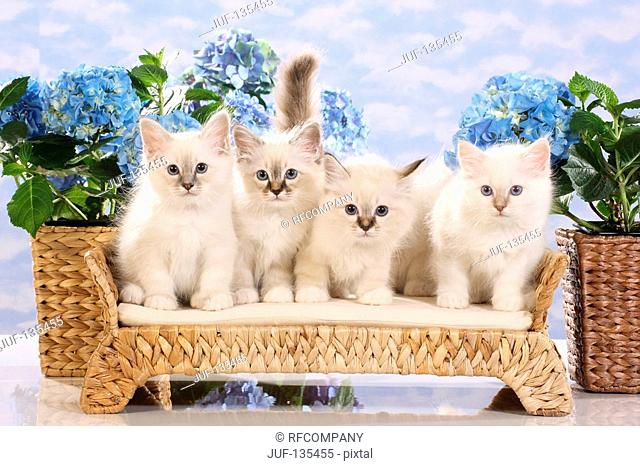 Sacred cat of Burma - four kittens in front of flowres