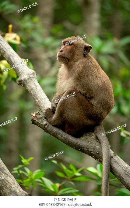 Long-tailed macaque sits in tree staring left