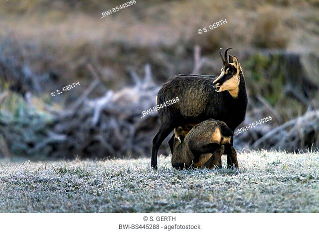 chamois (Rupicapra rupicapra), female chamois with sucking chamois fawn in a frozen forest meadow, side view, Switzerland, Grisons, Zernez