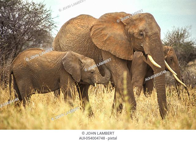 africa, tanzania, female elephant with calf (loxodonta africana)