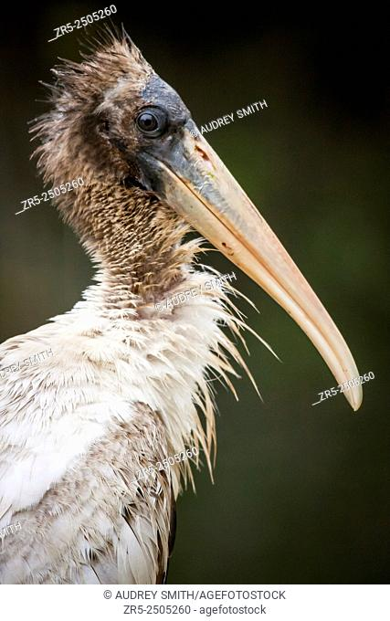 Portait of a young wood stork (Mycteria americana); Florida, USA. As the bird matures, the feathers on its head will thin and fall out, leaving a scaly